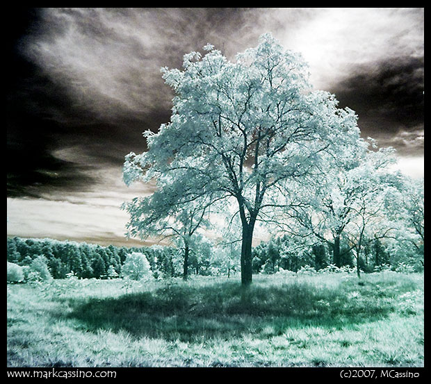 Walnut Tree - IR