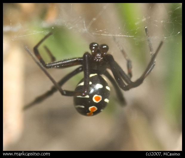 Northern Black Widow Spider